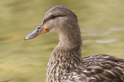 Mallard - Vancouver Duck photo