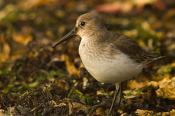 Calidris Alpina - Marina Island Dunlin photo