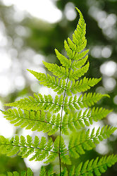 Wood Fern Leaf Pattern  - Pacific Spirit Park Fern photo