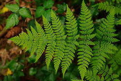 Wood Fern Frond - Pacific Spirit Park Fern photo