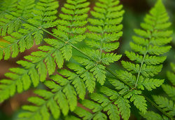 Wood Fern Closeup - Pacific Spirit Park Fern photo