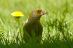 Greenfinch - Aillevillers Finch photo