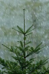 Young Grand Fir tree in Falling Snow - Cortes Island Fir Tree photo