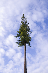 One Tree - Cortes Island Fir Tree photo