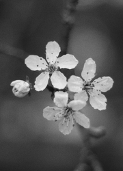 Cherry Blossems in Black and White - Cortes Island Flower photo