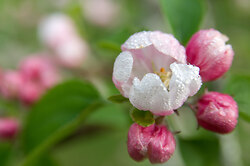 Apple Blossoms -  Flower photo