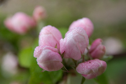 Apple Buds -  Flower photo