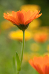 Calendula -  Flower photo