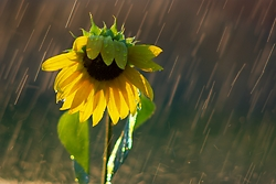 Sunflower in the Rain -  Flower photo