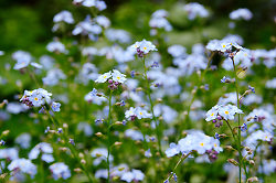 Lots and Lots of Forget-Me-Nots -  Flower photo