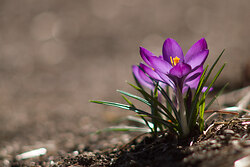 Crocus - Cortes Island Flower photo