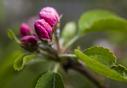 Apples in April - Cortes Island Flower photo