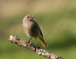 Black Redstart Portrait - Aillevillers Flycatcher photo