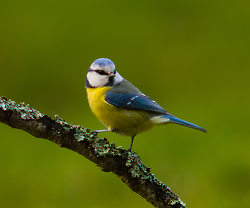 This handsome Blue Tit was actualy photographed from INSIDE our hous through a hole in the stone wall.