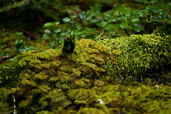 Various Mosses - Cortes Island Forest Floor photo