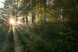 Forest Sunbeams - Cortes Island Forest photo