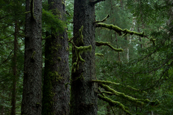 Old-growth Sitka Spruce - Cortes Island Forest photo