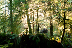 Light in the Forest #1 - Cortes Island Forest photo