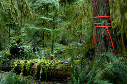 Unnatural Red Tape - Cortes Island Forest photo