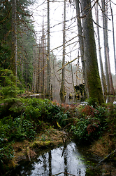 Basil Brook Beaver Dam - Cortes Island Forest photo
