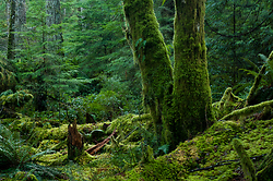 Two Alders - Cortes Island Forest photo