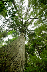 Pacific Red Cedar - Cortes Island Forest photo