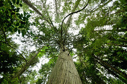 Western Red Cedar -  Forest photo