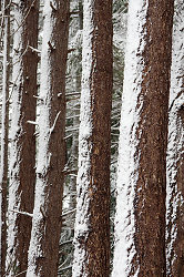 Snow On Fir Trunks -  Forest photo