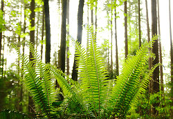 Ferns in the Forest - Pacific Spirit Park Forest photo