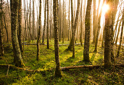 Dawn in the Alder Grove - Aillevillers Forest photo