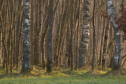 Alders at Sunrise - Aillevillers Forest photo