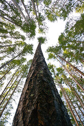 Looking Up -  Forest photo