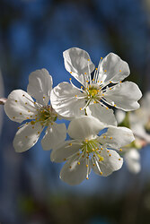 Cherry Blossoms - Flower photo from  France France