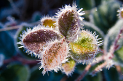 Salal - Cortes Island Frost photo