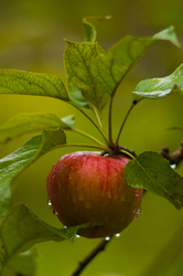 Apple -  Fruit photo