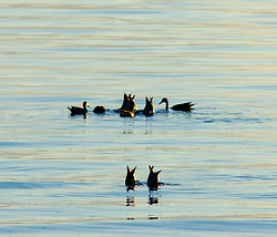 Dabbling Ducks ~ Funny Animal picture from Cortes Island Canada.