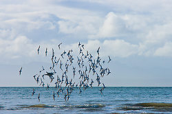 Flying On Edge -  Dunlin photo