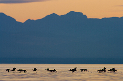 Surf Scoters -  Scoter photo