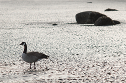 solitude - Cortes Island Goose photo