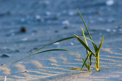 Salt Grass - Cortes Island Grass photo
