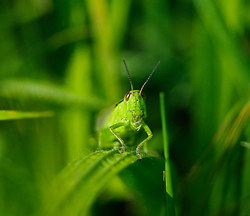 Howdy ~ Grasshopper Photo from Aillevillers France.