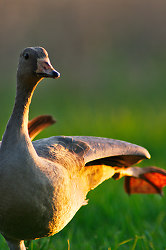 Stretch - Cortes Island Greater White-fronted Goose photo