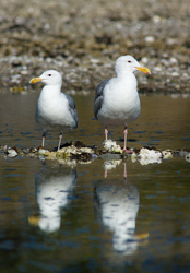 Glaucous-winged Gulls - Cortes Island Gull photo