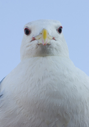 Glaucous-winged Gull Portrait ~ Gull picture from Vancouver Canada.