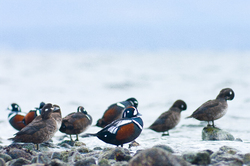 Harlequin Flock - Cortes Island Harlequin Duck photo