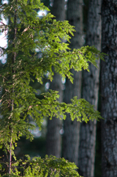 Sunlight on Hemlock Needles - Cortes Island Hemlock Tree photo