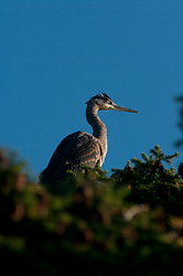 Great Blue Heron in a Tree - Cortes Island Heron photo