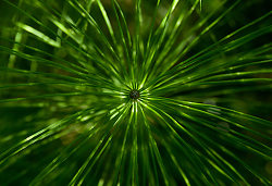Horsetail Mandala - Cortes Island Horsetail photo