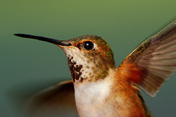 Hummingbird Action Portrait -  Hummingbird photo