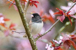 Junco in the Cherry Flowers ~ Junco Photo from Cortes Island Canada.